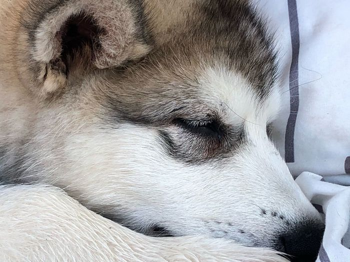 Sleeping puppy Dogslife Puppy Love Bestdog  Malamutepuppy Malamute One Animal Mammal Domestic Animals Pets Domestic Vertebrate Animal Body Part Bestdog  Malamutepuppy Malamute One Animal Mammal Domestic Animals Pets Domestic Vertebrate Animal Body Part