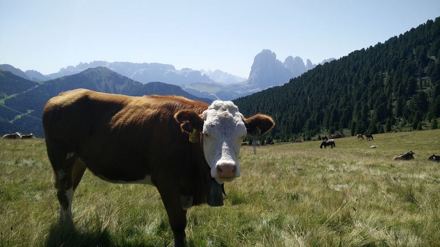 EyeEm Selects Mountain Animal Cow