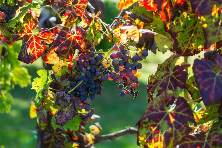 Close-up of grapevine