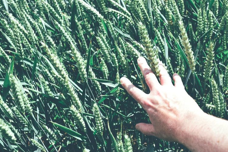 Cropped image of hand touching crops at field