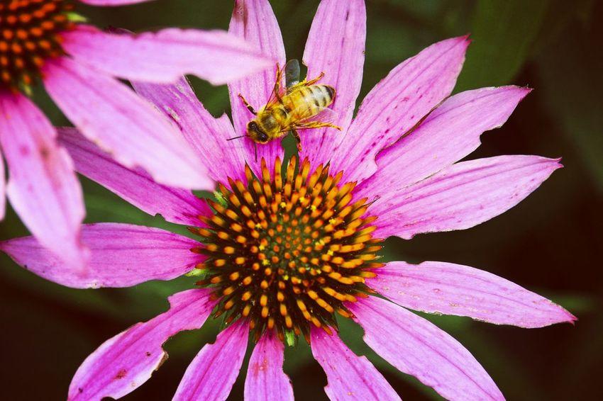 Buzzzzz Bee Flower Buzzbuzz Pink Flower Pink
