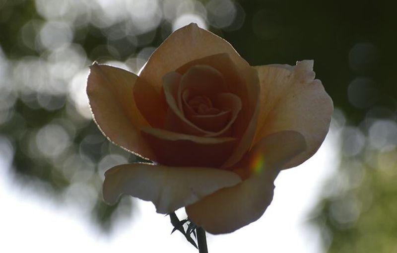 Rosé Flower Flowering Plant Plant Petal Rosé Beauty In Nature Vulnerability
