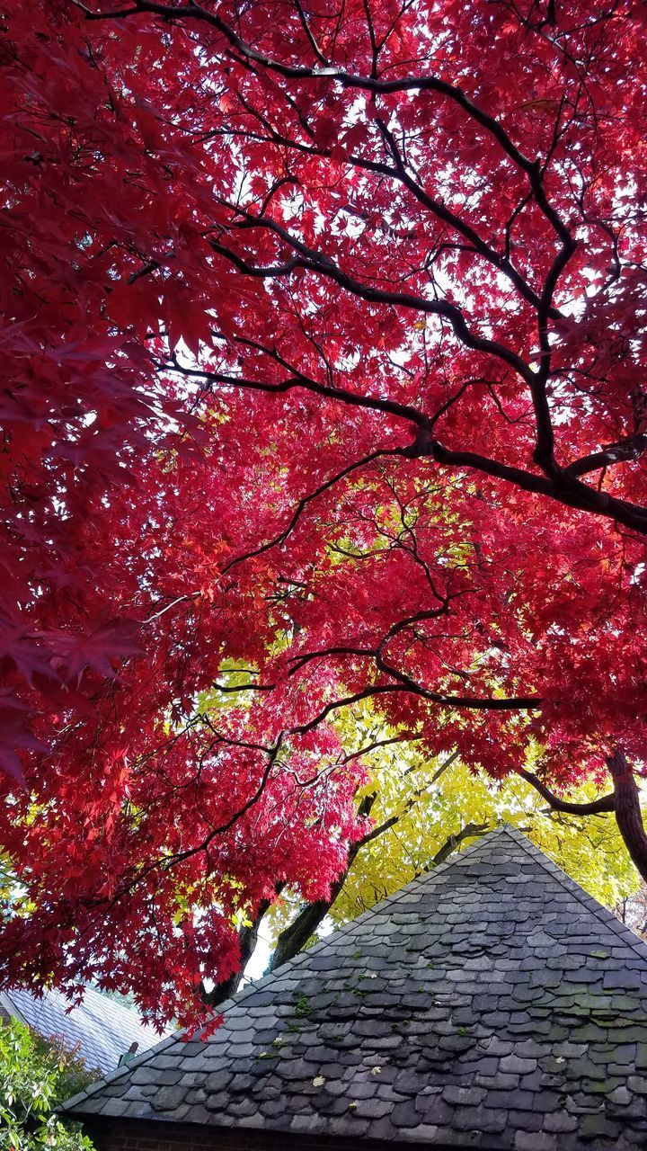 tree, plant, autumn, branch, growth, red, nature, no people, beauty in nature, change, day, low angle view, outdoors, architecture, tree trunk, built structure, trunk, tranquility, the way forward, sky, tree canopy, cherry blossom, maple leaf