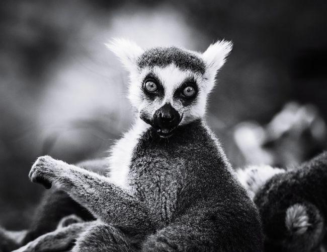 Close-up lemur