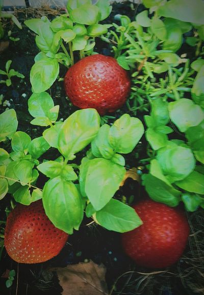 Threes Strawberries Fresh Basil Herbgarden Raw Vegan Food Culinary Ingredient Red