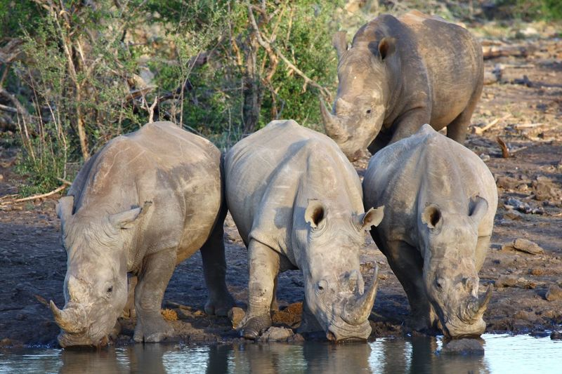 Three big boys at the bar having a cold drink Photography Madikwe Wild Animal Big Five Wildlife Photography Photography Rhino Rhinos Endangered Species Endangered Animals Endangered  Animal Group Of Animals Animal Themes Animals In The Wild Animal Wildlife Water Mammal Safari Animals In The Wild
