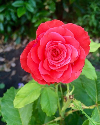 Flower Beauty In Nature Rosé Nature Red Rose - Flower Single Flower
