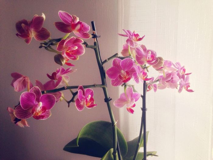 93/365 April 3 2017 One Year Project Orchids Orchid Flower Fragility Pink Color Nature Beauty In Nature Petal Freshness Growth No People Flower Head Close-up Plant Day Indoors  Bougainvillea Sky