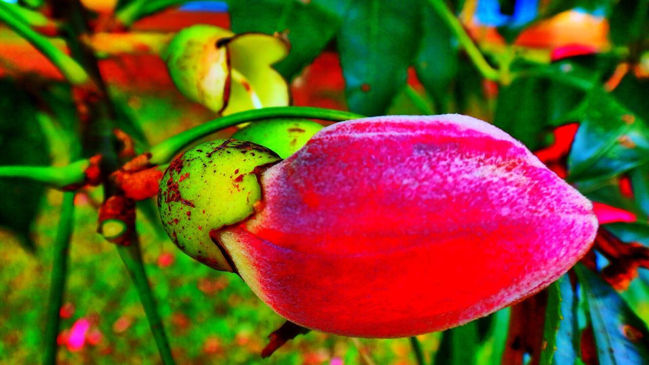 growth, red, fruit, food and drink, nature, no people, close-up, outdoors, plant, food, day, freshness, beauty in nature, tree