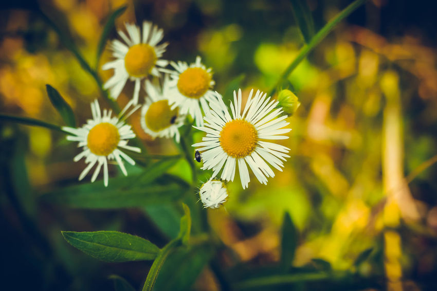 No People Beauty In Nature Freshness Petal Day Outdoors Nature Leaf Chamomile Chamomile Flowers Chamomile Field Chamomile Bouquet Chamomilla Chamomile Flower