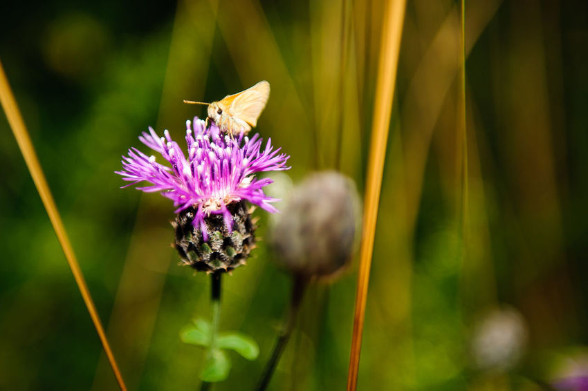 butterfly on thistle Beauty In Nature Blooming Blossom Botany Close-up Day Flower Flower Head Focus On Foreground Fragility Freshness Green Color Growth In Bloom Nature No People Outdoors Petal Pink Color Plant Pollen Pollination Purple Selective Focus Stem