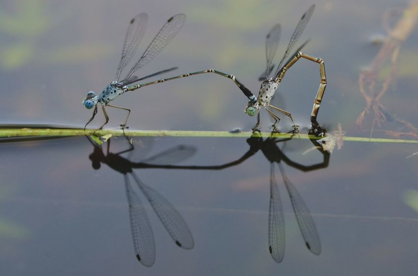 Reflection Nature Insect Water Animals In The Wild Beauty In Nature EyeEm Nature Lover EyeEm Best Shots - Nature Eye Em Nature Lover Dragonflies