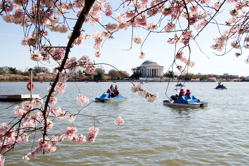 Cherry blossom season in Washington, D.C. Cherry Blossoms Monuments Nature Photography Paddle Boats Washington Monument Washington, D. C. Water Reflections Beauty In Nature Building Exterior District Of Columbia Flower Collection Flowers, Nature And Beauty Monuments Of The World Natur Nature Naturelovers Outdoors Photoraphy River Spring Flowers Spring Time Springtime Travel Destinations Vacations Waterfront