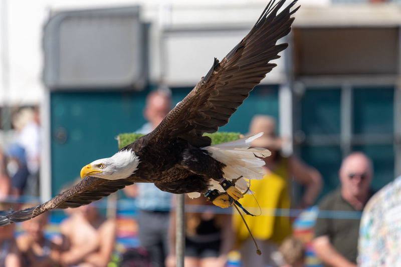 Close up of a bald eagle  flying in front of a crowd of people at a falconry demonstration.