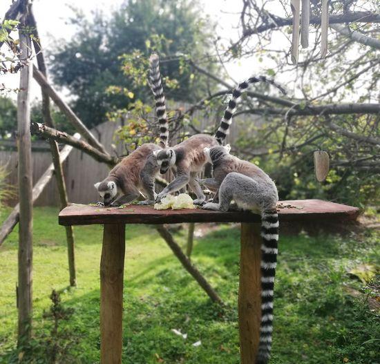Lemur Lemurs