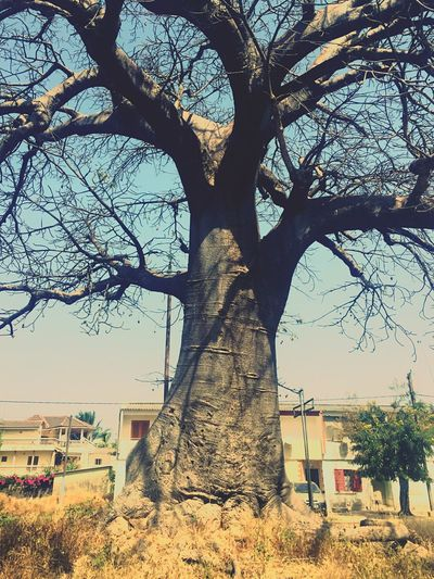 Baobab Tree_collection  Trees Old But Awesome Nature Photography Africa Mobilephotography Sunlight, Shades And Shadows The Traveler - 2015 EyeEm Awards Showcase:December EyeEm Best Shots Branch Tree Trunk Light And Shadow