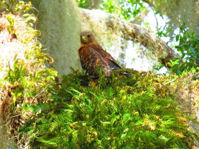 Wild hawk near springs Hawk Hawk - Bird Hawks Bird Tree Bird Of Prey Perching Animal Themes Close-up Green Color