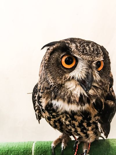 Owl Owls Owl Art Owl Eyes Owls💕 Owl Photography Owllife Owl Portrait. OWL Shoot Owlcity Owleyes Owlet SONYrx100m3 OWLEYE Owllove Owlish's Life. Owl Butterfly Owlsome Bird Of Prey Animal Wildlife Nature Bird Owlart Owl Cafe Owlthat