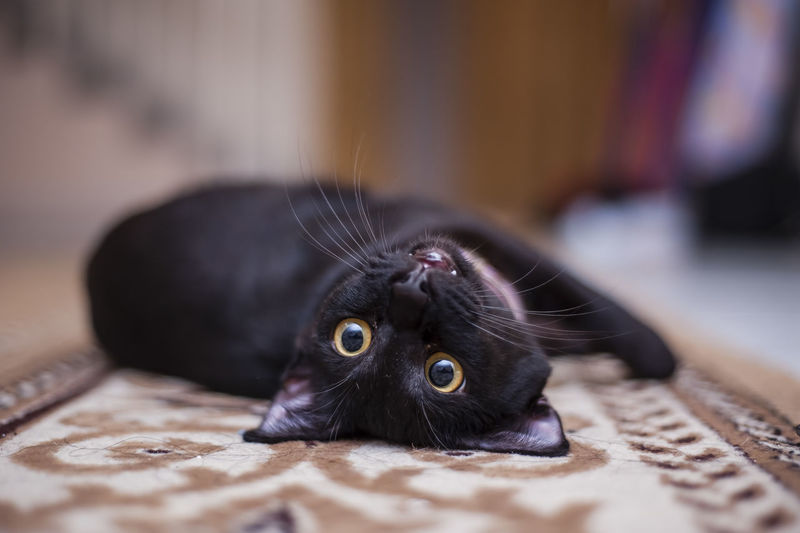 Portrait of cat lying on carpet