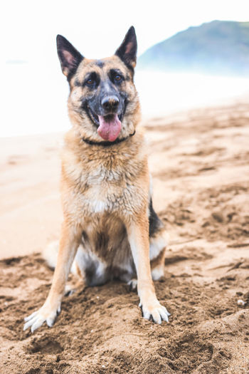 Portrait Of German Shepherd Sitting At Beach