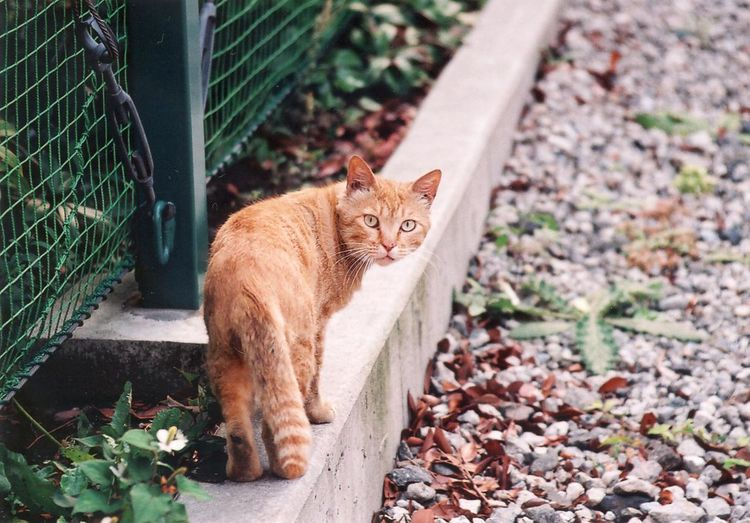 Cat Domestic Cat Feline Film Photography Ginger Cat Looking At Camera Outdoors Tabby Cat The Street Photographer - 2017 EyeEm Awards Pet Portraits Visual Creativity The Street Photographer - 2018 EyeEm Awards