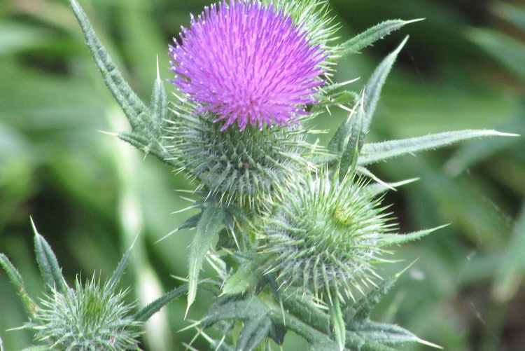 Beauty In Nature Close-up Day Flower Flower Head Fragility Freshness Growth Nature No People Outdoors Plant Thistle