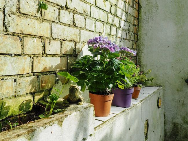 Morning sunshine Sunshine Flowers Lavender Hydrangea Plant Growth Wall - Building Feature Potted Plant Nature Wall Flowering Plant No People Day Flower Beauty In Nature Fragility Freshness Plant Part Leaf