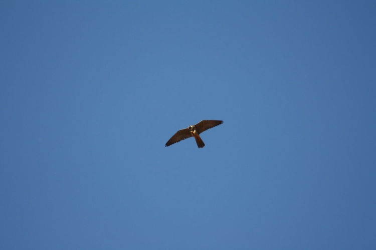 Beauty In Nature Bird Of Prey Bird Photography Blue Clear Sky Day Falco Subbuteo Flying Freedom Hobby Hobbyphotography Hunter Of The Skies Hunting Low Angle View Mid-air Nature No People Outdoors Sky Spread Wings Wild Life Wildlife Wildlife & Nature Wildlife Photography Wlldlife