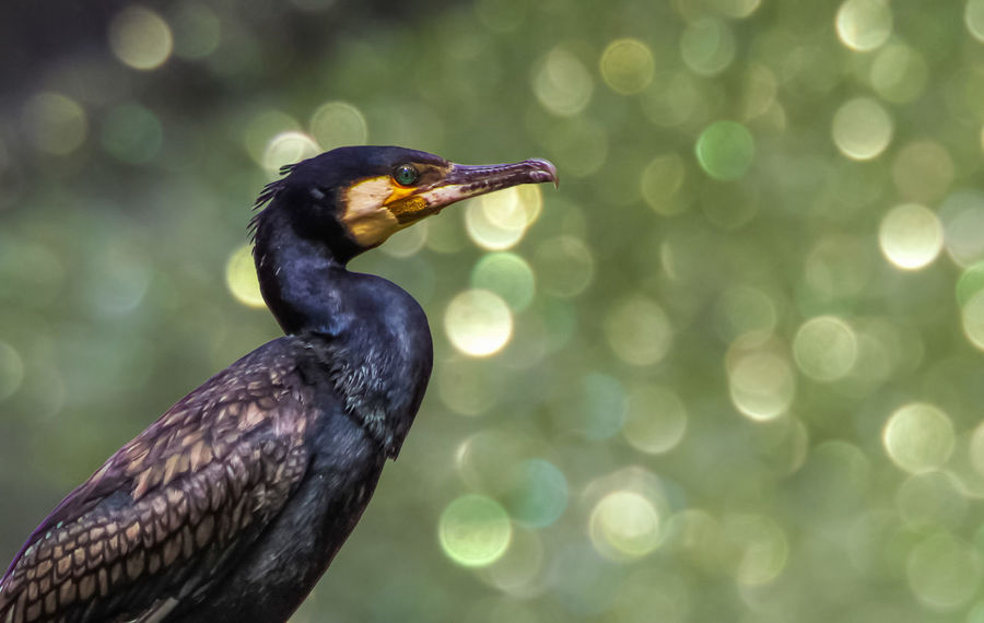 Cormorant  Animal Themes Animal Wildlife Animals In The Wild Beak Bird Bokeh Close-up Day Focus On Foreground Nature No People One Animal Outdoors Perching