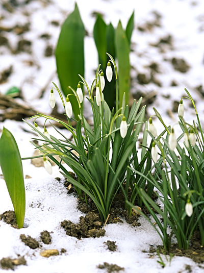 Frühlingsboten EyeEm Nature Lover EyeEmNewHere Schneeglöcken Beauty In Nature Close-up Day Flower Flower Head Fragility Freshness Frühlingsboten Green Color Growth Leaf Nature No People Outdoors Petal Plant Snow Snow Drops Snowdrop Water White Color Winter