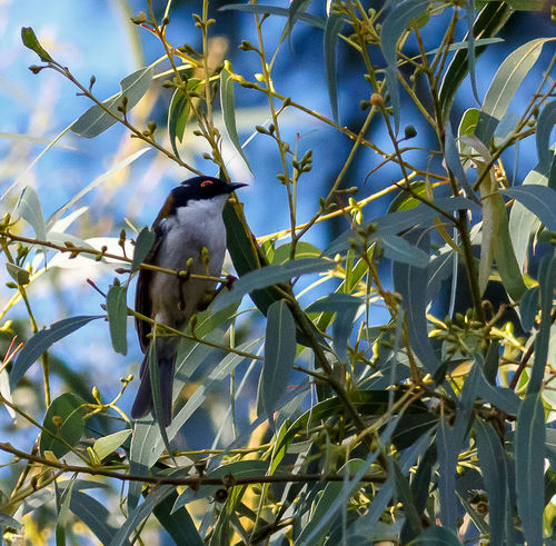 White Naped Honeyeater Australian Birds In The Wild Australian Bird White Naped Honeyeater Animal Themes Animal Wildlife Animals In The Wild Beauty In Nature Bird Branch Close-up Day Flower Freshness Growth Leaf Low Angle View Nature No People One Animal Outdoors Perching Plant Sky Tree