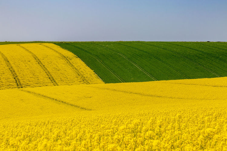 A farm landscape in Sussex, with vivid canola/rapeseed fields Agriculture Beauty In Nature Canola Crop  Environment Farm Field Flower Growth Land Landscape Nature No People Oilseed Rape Outdoors Plant Rolling Landscape Rural Scene Scenics - Nature Sky Springtime Sussex Tranquil Scene Tranquility Yellow