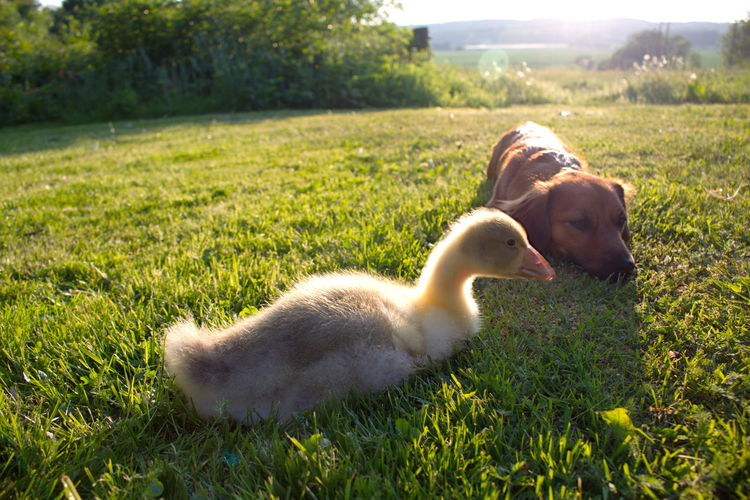 Animal Head  Animal Themes Beauty In Nature Close-up Day Dog Domestic Animals Field Gosling Grass Grassy Green Green Color Growth Landscape Lawn Lying Down Mammal Nature Outdoors Pets Plant Relaxation Resting The Essence Of Summer