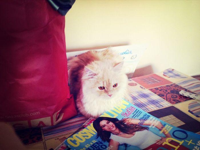 Summer Hello World Persian Cat  Boladepelo
