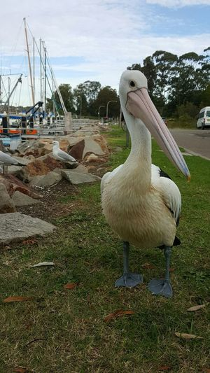 Pelican bird Adapted To The City