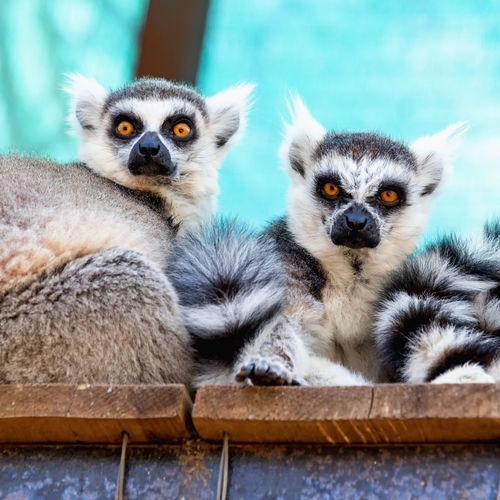 Portrait of lemurs sitting in cage