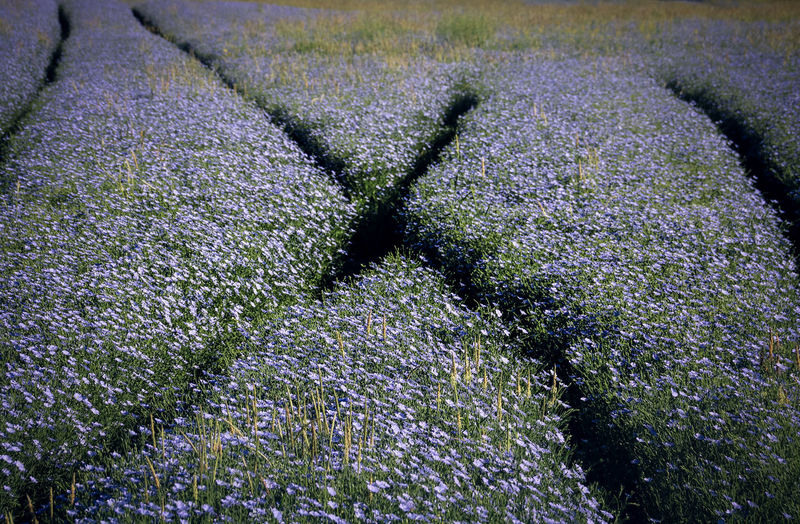 Field Nature Backgrounds Beauty In Nature Blooming Blue Close-up Day Flax Flower Freshness Full Frame Growth Nature No People Outdoors Tire Tracks