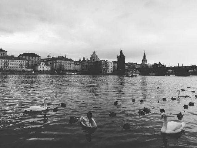 Czech Republic Prague♡ Prague Czech Republic Prague Praga Rain Rainy Days Blackandwhite Oldtown Oldcity Duck Swan