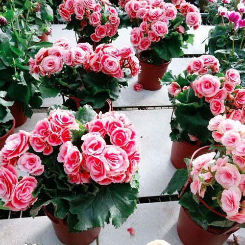 Flower Nature Plant Potted Plant Riga Begonia Taiwan Beautiful 花 麗格海棠 花市 盆栽 植物 台灣 美麗