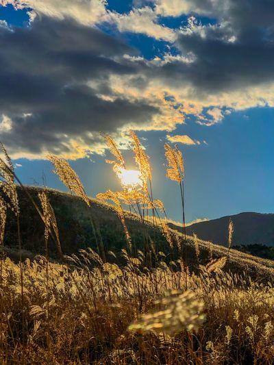 風にゆらゆら。That is shaking from the wind. Pampas Grass Backlight Sunset Silhouettes Sunset Sky Tranquil Scene Nature Landscape Cloud - Sky Tranquility Beauty In Nature Grass Tree Sunlight Mountain Outdoors Growth Scenics Field No People Rural Scene Day