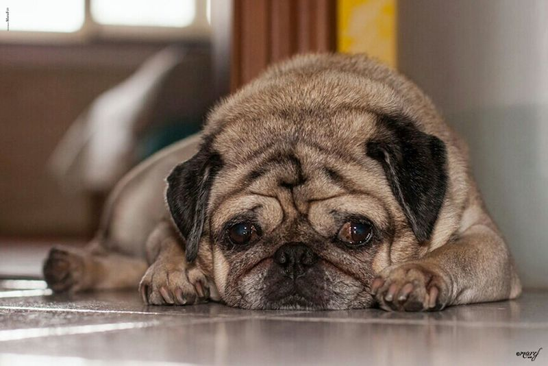 So tired.....[Ulisse ] Pug Animal Love Puglife Carlino Pug Life  Animal_collection Carlino Cane Dog Pug Life ❤ Pug Love Animal Photography Mummy Love  Puglove  Carlino Pug Canon_photos Canon Canonphotography Canon_official Dog Dogs Dog Love Dog❤ Dogslife Dogs Of EyeEm Doglover DogLove