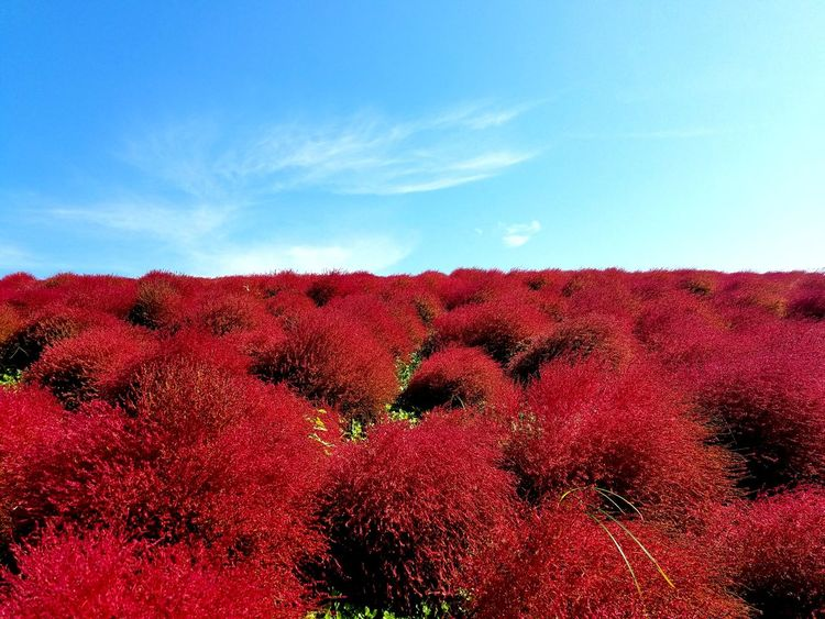 Red Sky No People Outdoors Day Nature Beauty In Nature Color Backgrounds Japan Field Season  Flower Autuman Kokia Perspectives On Nature EyeEmNewHere