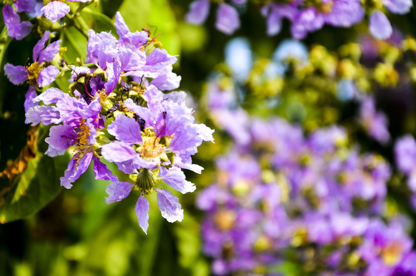 Giant Crape-myrtle Beauty In Nature Close-up Day Flower Flower Head Focus On Foreground Fragility Freshness Freshness Giant Crape-myrtle Growth Leaf Nature No People Outdoors Petal Pink Pride Of India Purple Flower Queen 's Crape-myrtle Queen 's Flower White Yellow