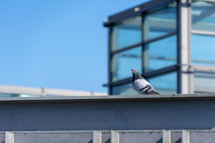 Seagull perching on railing against blue sky