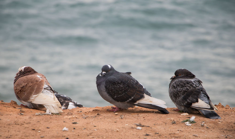 Three birds on the beach of the mediterranean sea with their heads drawn in wind Mediterranean Coast Animal Animal Themes Animal Wildlife Animals In The Wild Beach Bird Black Color Day Departure Feathers Of A Bird Focus On Foreground Group Of Animals Gulls And Beach Nature No People Outdoors Perching Pigeons Sandy Sea Selective Focus Vertebrate Water Waves