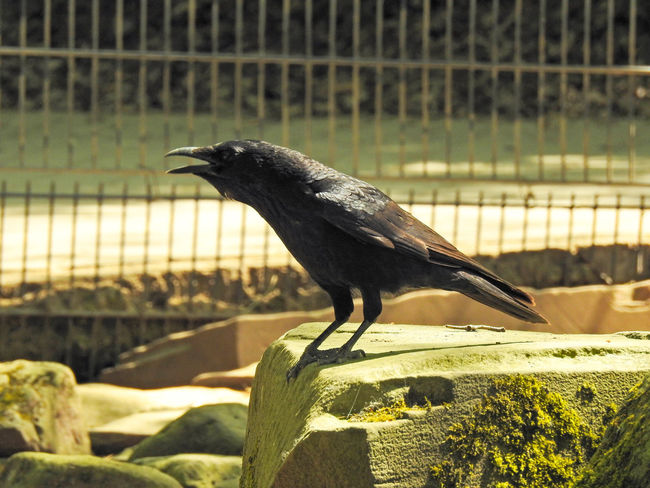 Abraxas Animal Animal Themes Animal Wildlife Animals In Captivity Animals In The Wild Barrier Bird Boundary Close-up Day Fence Focus On Foreground Nature No People One Animal Outdoors Perching Raven - Bird Side View Sunlight Vertebrate