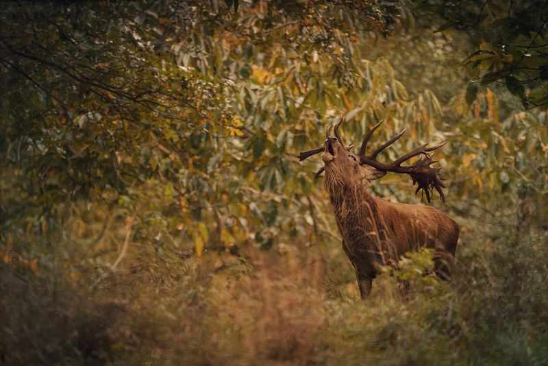 Call of the Wild Animals In The Wild Animal Themes One Animal Stag Beauty In Nature Nature TreePorn Landscape Landscape_photography Scenics Animal Photography Norfolk Holkham Nature Photography Rutting Season Autumn The Great Outdoors - 2017 EyeEm Awards