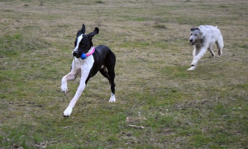 Domestic Animals Pets Animal Themes Grass Outdoors Herrenkrugpark The Places ı've Been Today Take A Walk In The Park Winter 2017 March 2017 Dogs Of Winter Dogwalk Dog Of The Day Dogs Of EyeEm Dogslife Running Cearnaigh Irish Wolfhound Dog Togetherness Great Dane Playing Dogs