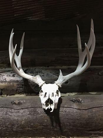 Whitetail Buck Antlers Skull Mount