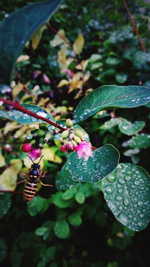 Nature Insect Fragility Outdoors Flower Growth Freshness Beauty In Nature Animal Wildlife Animals In The Wild No People One Animal Animal Themes Wespe Yellow Black Green Red Water Drop Waterdrops